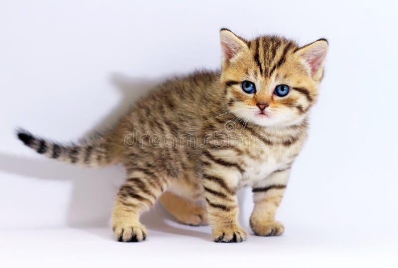 与蓝眼睛的镶边苏格兰小猫 免版税库存照片
