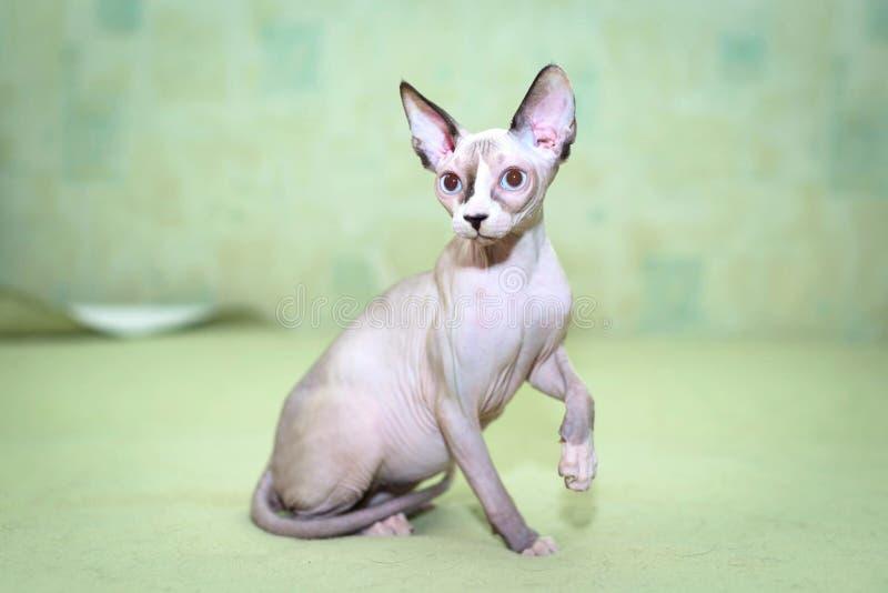 与蓝眼睛的Sphynx猫 图库摄影