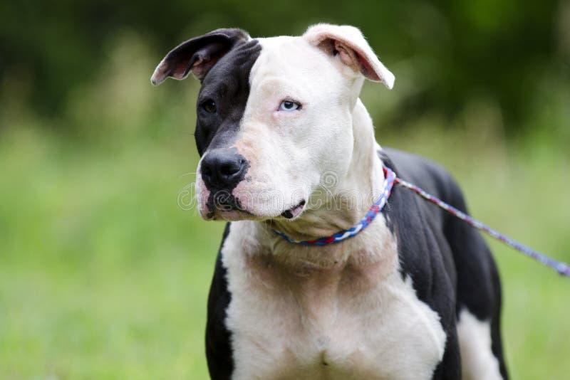 与蓝眼睛,宠物抢救收养摄影的白色和黑Pitbull狗 免版税库存图片
