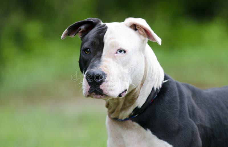 与蓝眼睛,宠物抢救收养摄影的白色和黑Pitbull狗 库存图片