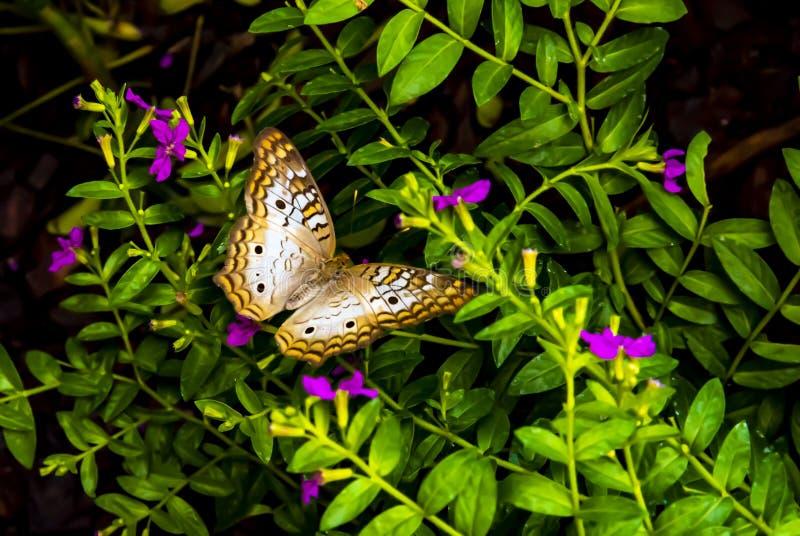与蓝色和金牌颜色的白色孔雀铗蝶  库存照片
