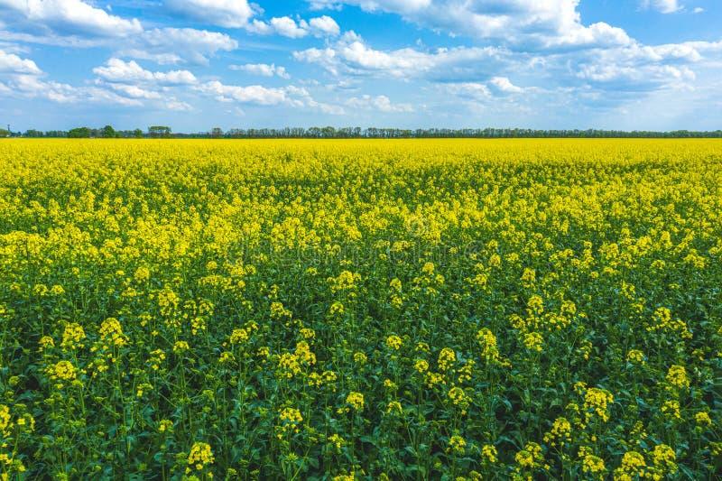 与蓝色无云的天空的开花的黄色油菜籽领域 E 库存图片