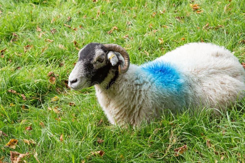 与蓝色油漆标记的白羊 免版税图库摄影