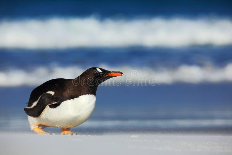 与蓝色波浪海的企鹅 在白色沙子海滩的企鹅 Gentoo企鹅跳出大海海洋对白色沙子海滩 库存图片