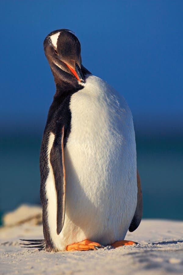 与蓝色波浪海的企鹅 在白色沙子海滩的企鹅 Gentoo企鹅跳出大海海洋对白色沙子海滩 免版税库存照片