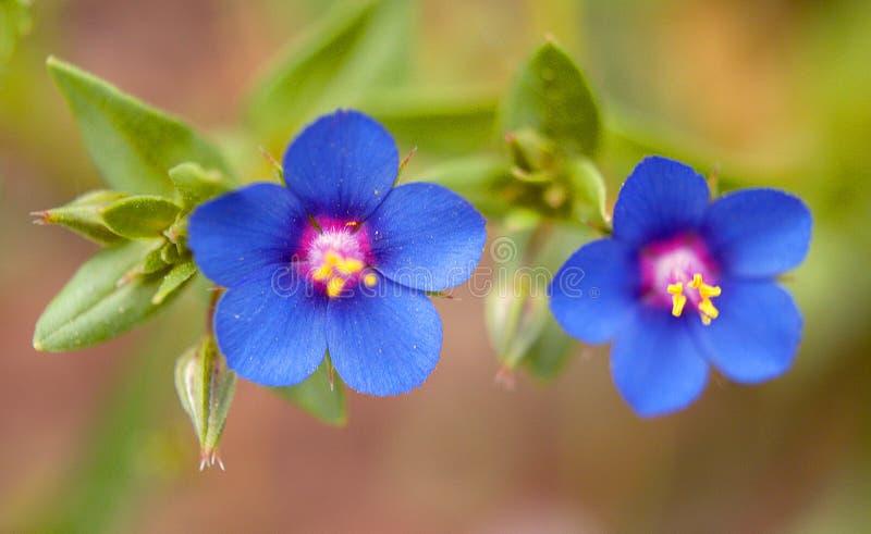 与蓝色瓣的两朵花 免版税库存照片