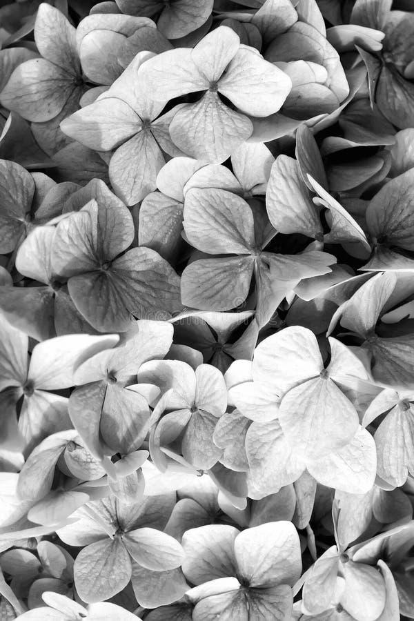 与蓝色瓣的八仙花属在Oban,英国 八仙花属花开花 植物群和自然 自然的秀丽 花卉 库存照片