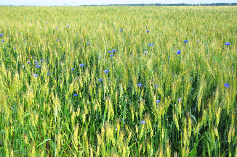 与蓝色矢车菊和乡下风景的美好的绿色麦田 免版税库存照片