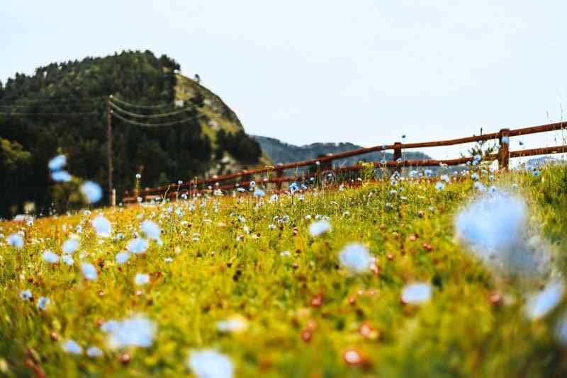 与蓝色花的阿尔泰山脉风景在草甸和操刀 库存照片