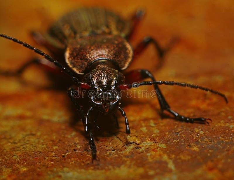 与蓝色钢一刹那osity甲虫的大黑色在生锈的铁红色板料  免版税库存照片
