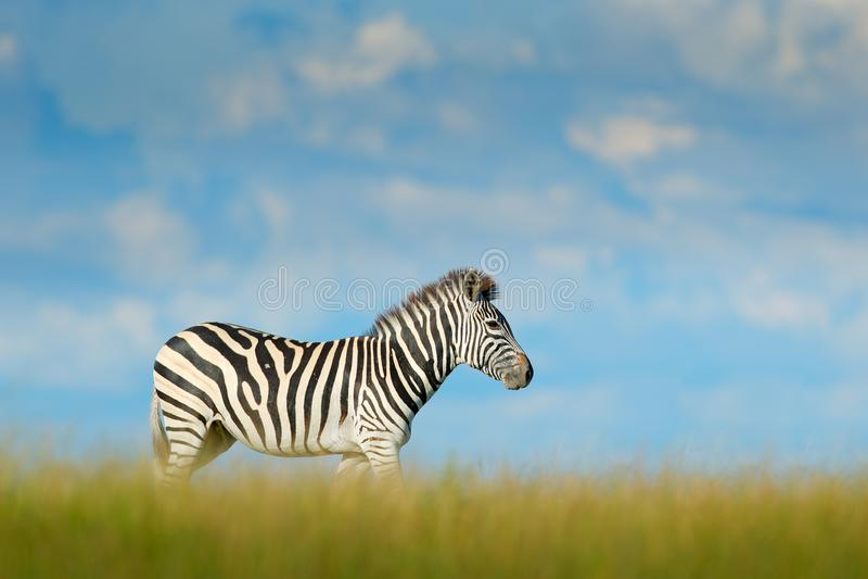 与蓝色风暴天空的斑马与云彩 Burchell ` s斑马,马属拟斑马burchellii,恩克塞盐沼国家公园,博茨瓦纳,非洲 通配 库存照片