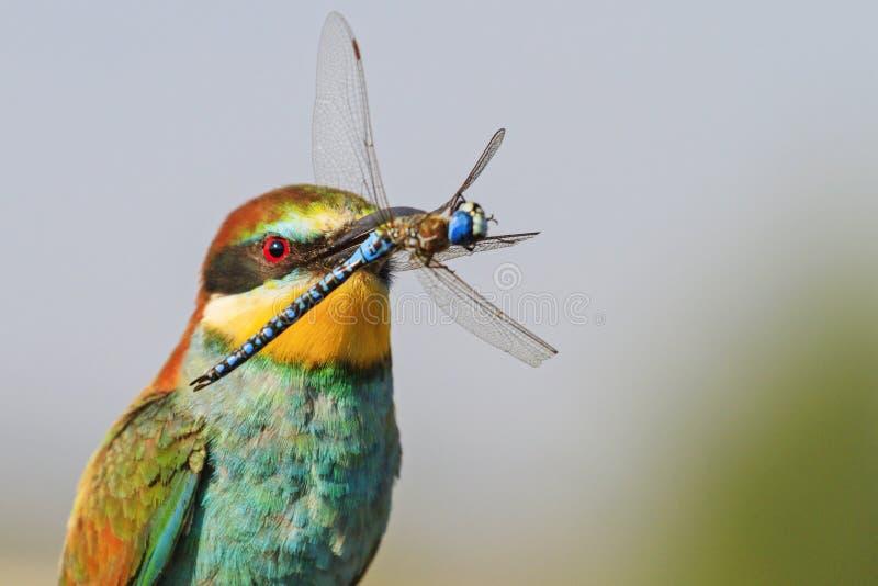 与蓝色蜻蜓的Peradise鸟在额嘴 库存照片