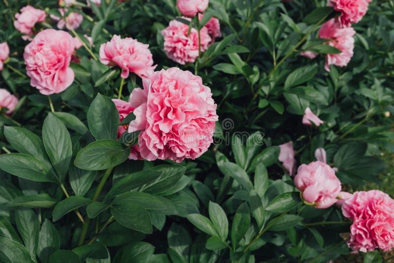 与蓬松桃红色牡丹花的花床在绽放 免版税库存照片