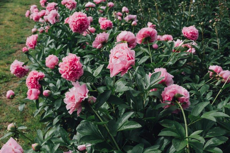 与蓬松桃红色牡丹花的花床在绽放 免版税图库摄影