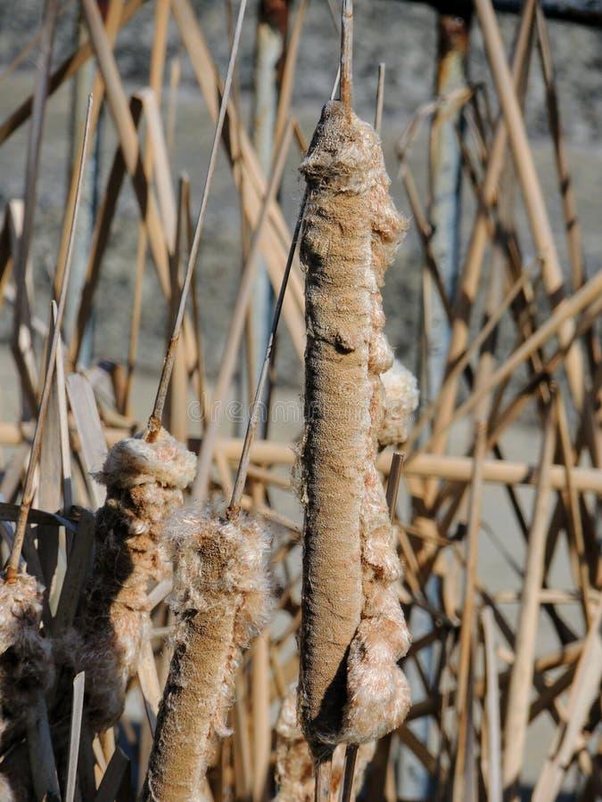 与蓬松种子的布朗香蒲在冬天,宏观特写镜头详述了看法在印第安纳波利斯印第安纳怀特河国家公园 香蒲gen 免版税库存图片