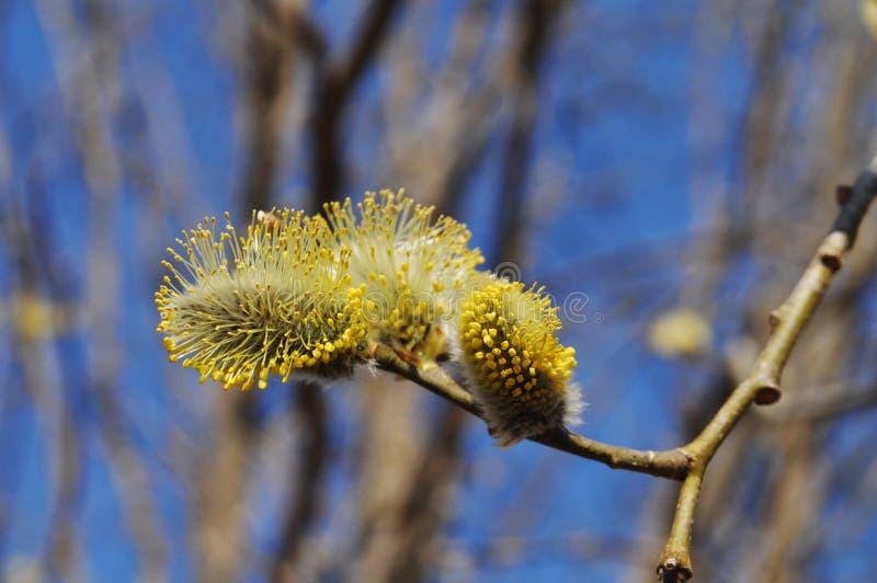 与蓬松黄色芽的杨柳分支 库存照片