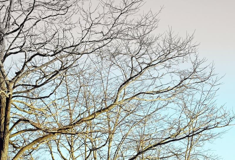与蔓延的贫瘠树分支反对蓝天 库存图片