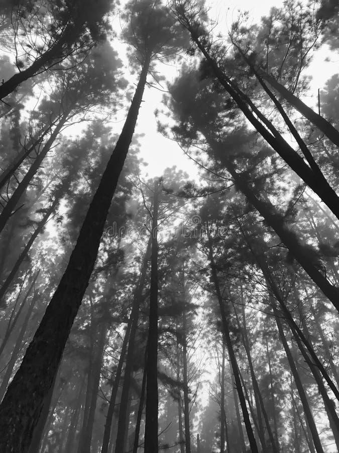 与薄雾的杉木树梢 免版税图库摄影