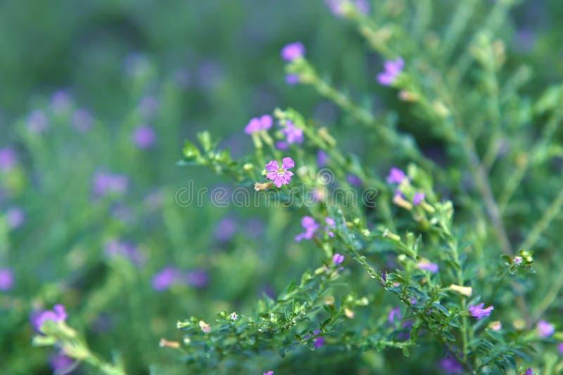 与藏蓝孔和花雌蕊的美丽的花 免版税库存图片