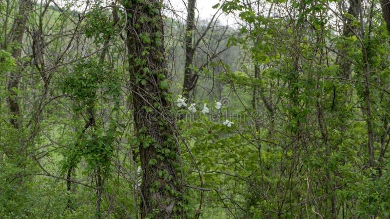与藤和花的白栎木树 免版税库存照片