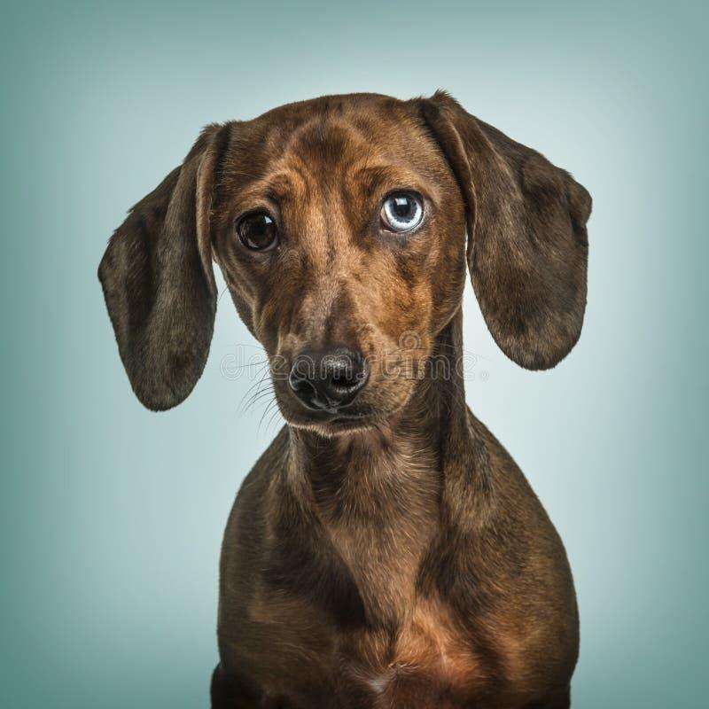 与虹膜异色症的达克斯猎犬反对绿松石背景 库存照片