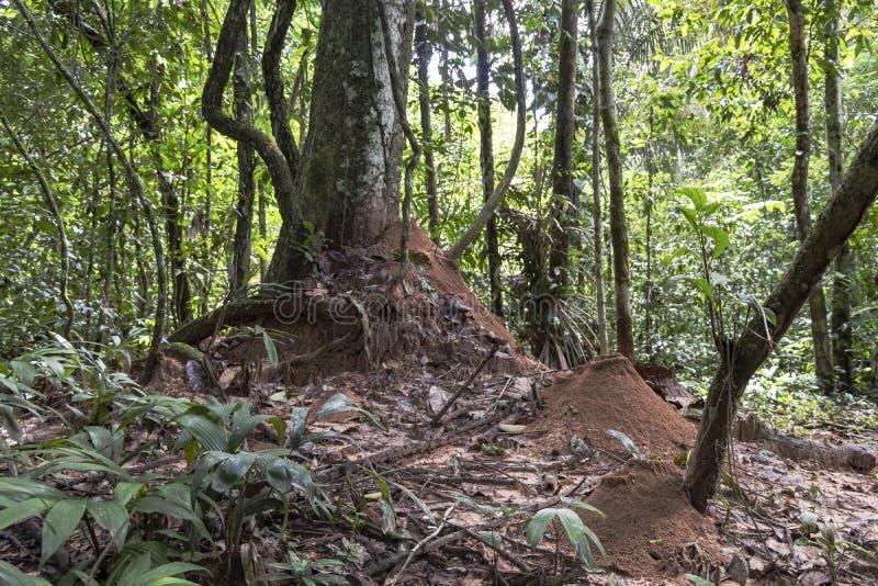 与蚂蚁活场面在密林,亚马孙河盆地的被弄脏的背景在南美洲 库存照片