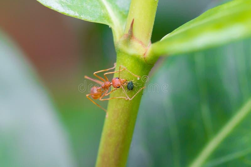 与蚜虫的织布工蚂蚁 库存照片
