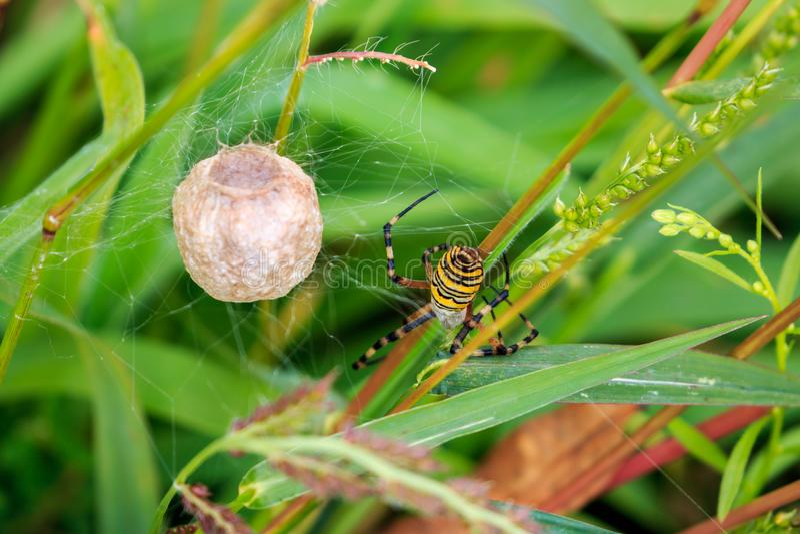与蛋囊的黄蜂蜘蛛在荷兰秋天风景 免版税库存图片