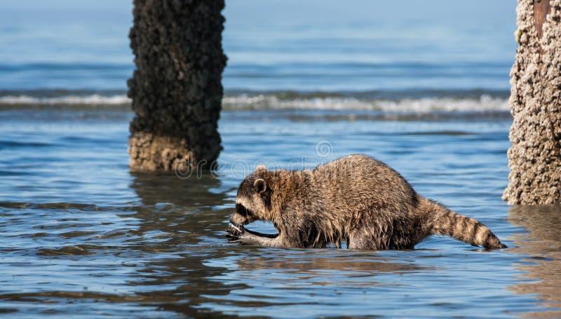 与蛤蜊的浣熊 图库摄影