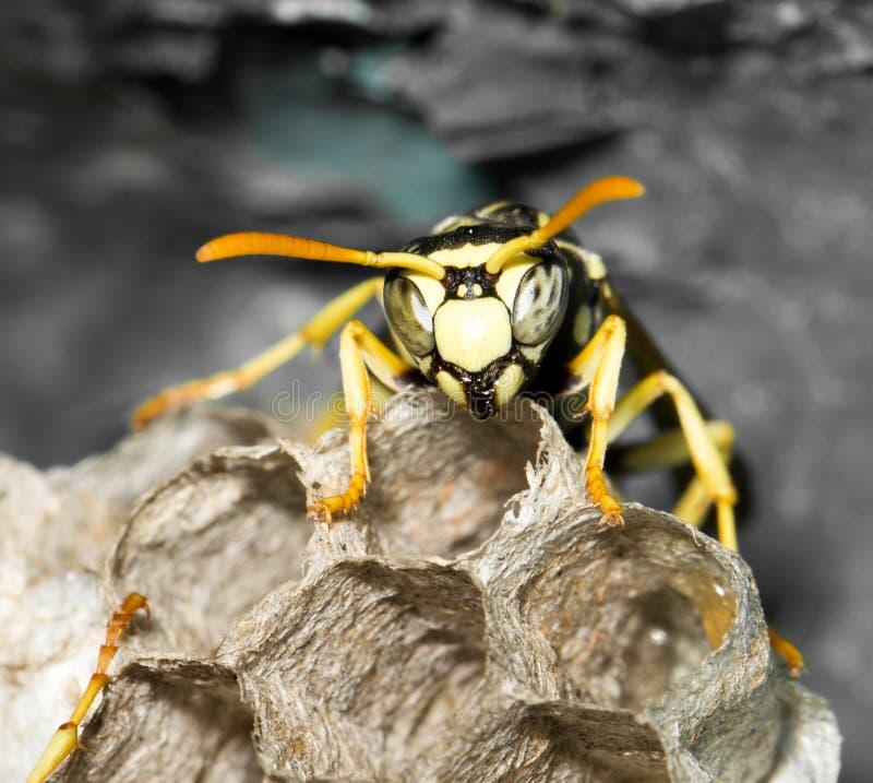 与蛹的黄蜂巢 免版税库存照片