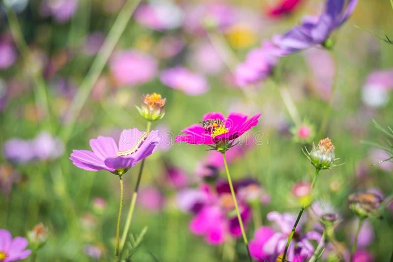 与蜂和蠕虫的桃红色波斯菊领域 库存图片