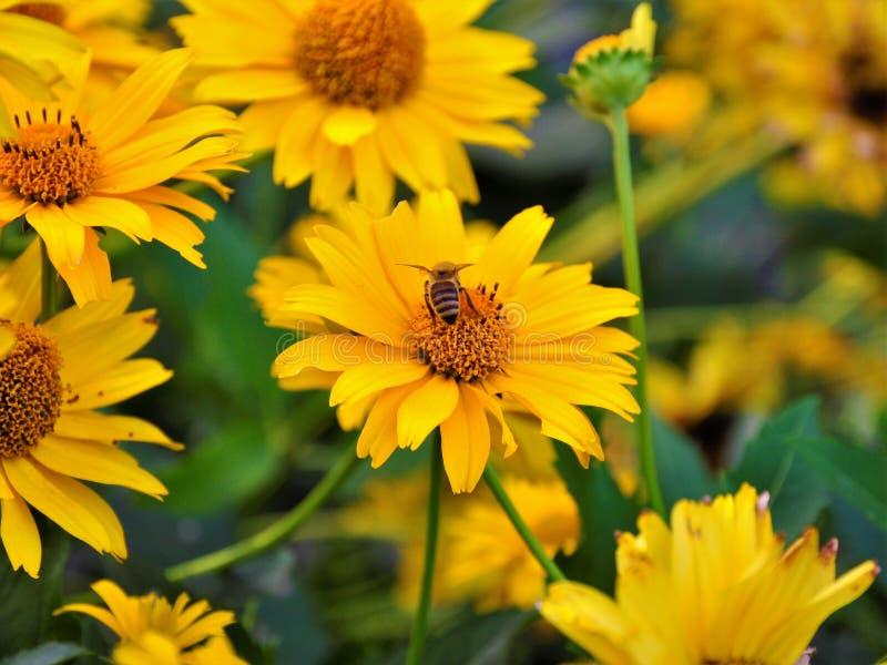 与蜂的一些黄色花从我的后院 免版税库存图片