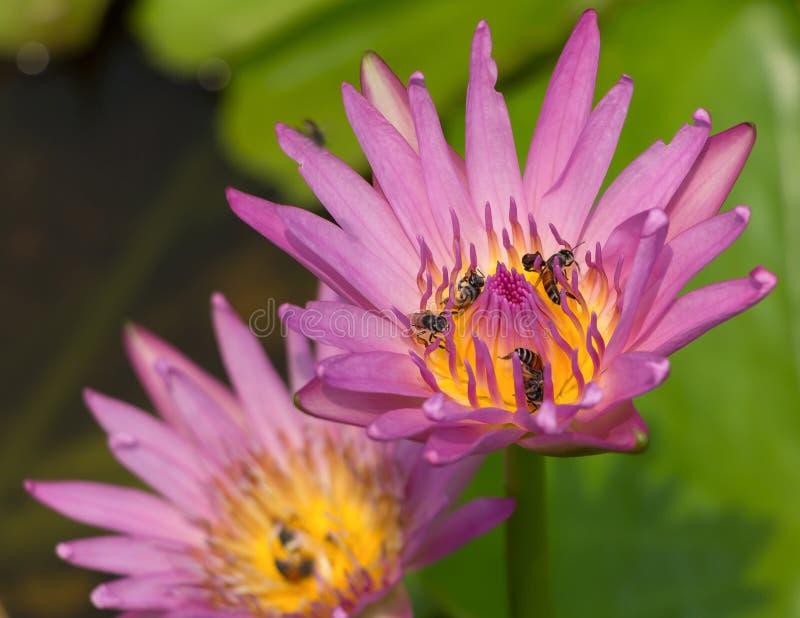 与蜂的五颜六色的开花的桃红色荷花设法保留nec 库存照片