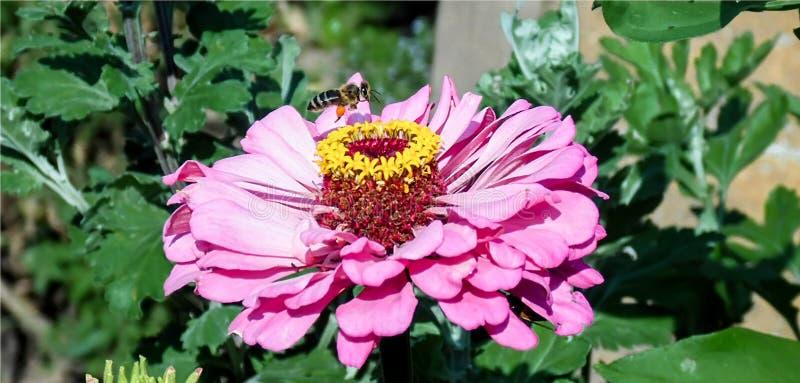 与蜂的大桃红色花 免版税库存图片