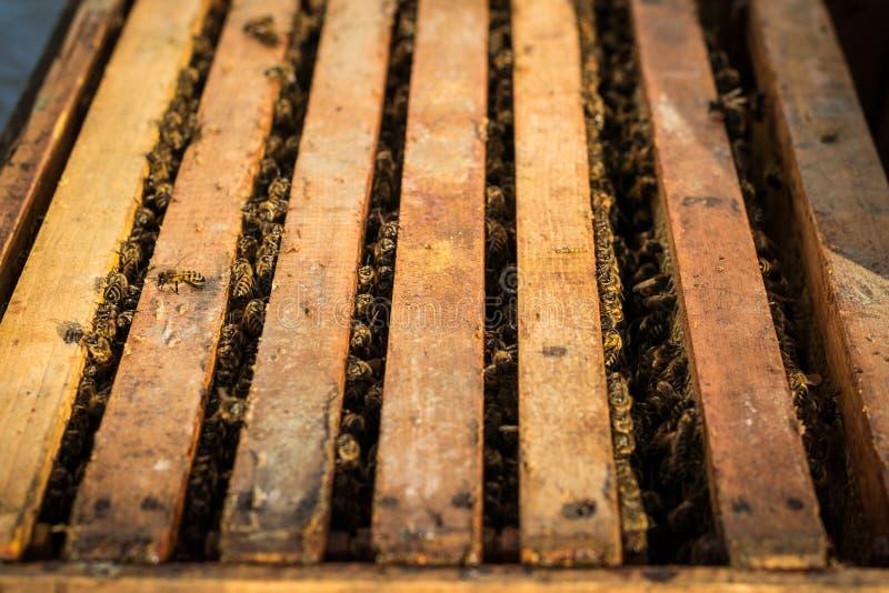 与蜂的开放蜂箱沿在蜂窝木制框架的蜂房爬行 养蜂概念 免版税库存照片
