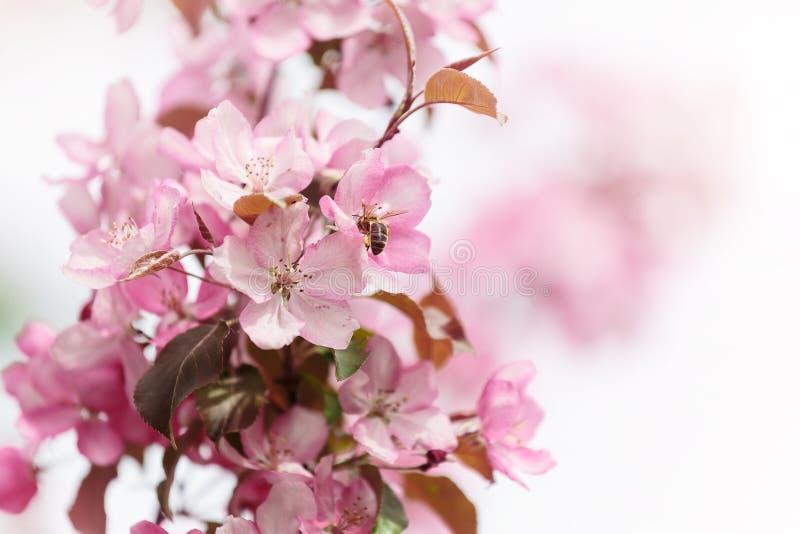 与蜂的桃红色春天花 图库摄影