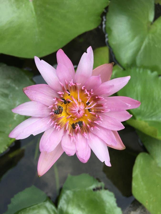 与蜂的莲花 免版税库存图片