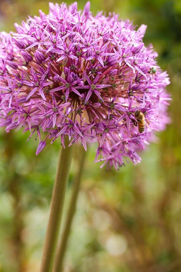 与蜂的葱属Globemaster 免版税图库摄影