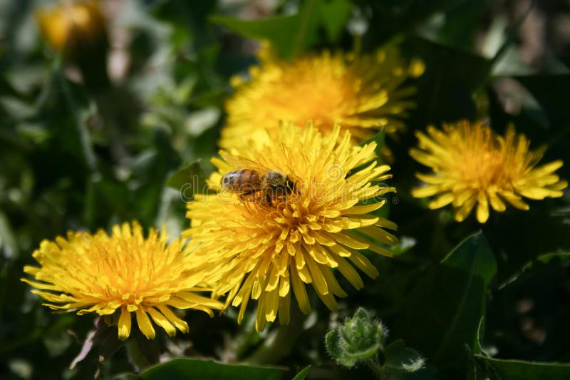 与蜂的蒲公英 免版税库存照片