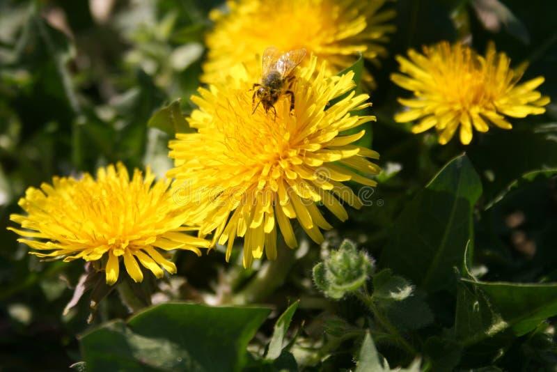 与蜂的蒲公英 库存图片