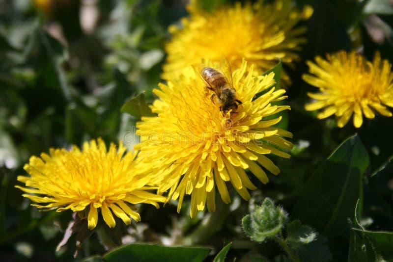 与蜂的蒲公英 免版税库存图片