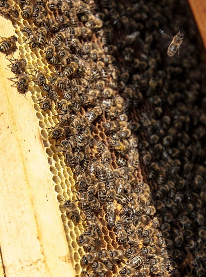 与蜂的蜂框架 免版税库存照片