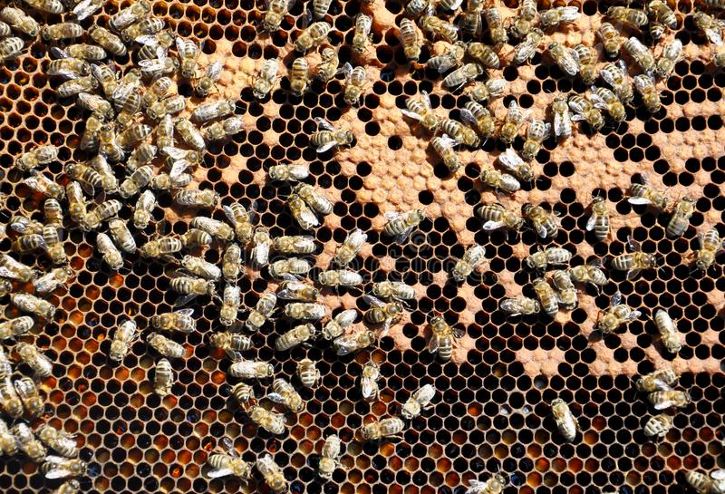 与蜂的蜂框架 库存照片