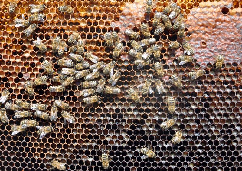 与蜂的蜂框架 免版税库存图片