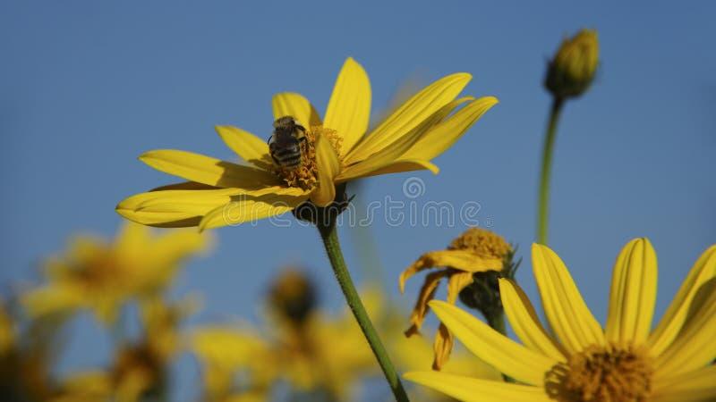 与蜂的洋姜反对天空 库存照片