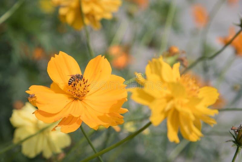 与蜂的黄色波斯菊花 免版税图库摄影