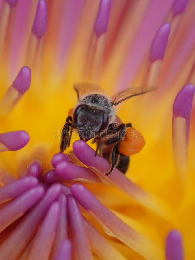 与蜂的Waterlily 库存照片