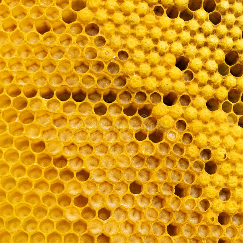 与蜂蜜和蜂幼虫特写镜头的蜂蜜框架 养蜂业和蜂房 免版税库存照片