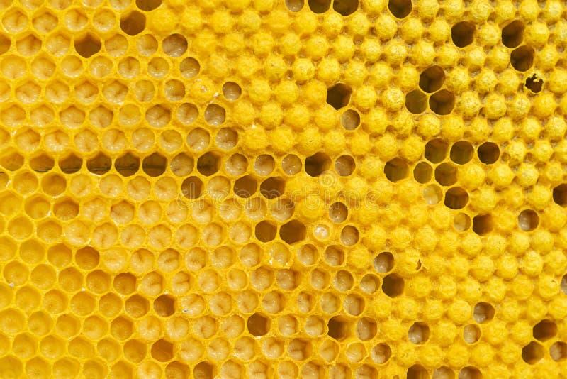 与蜂蜜和蜂幼虫特写镜头的蜂蜜框架 养蜂业和蜂房 r 免版税库存照片