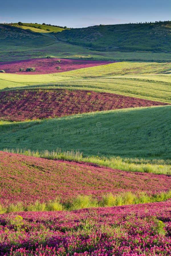 与蜂蜜在牧场地和绿色麦田在西西里岛海岛小山,农业的花苏拉红色开花的风景  图库摄影